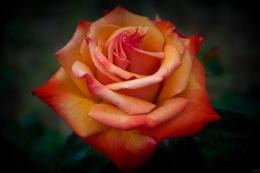 Orange Rose, Portland, Texas