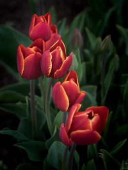 Red and Yellow Tulips, Oregon
