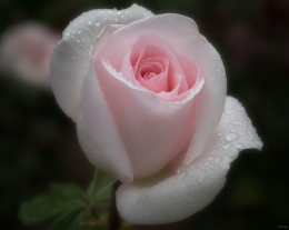 Pink Rose, New Mexico